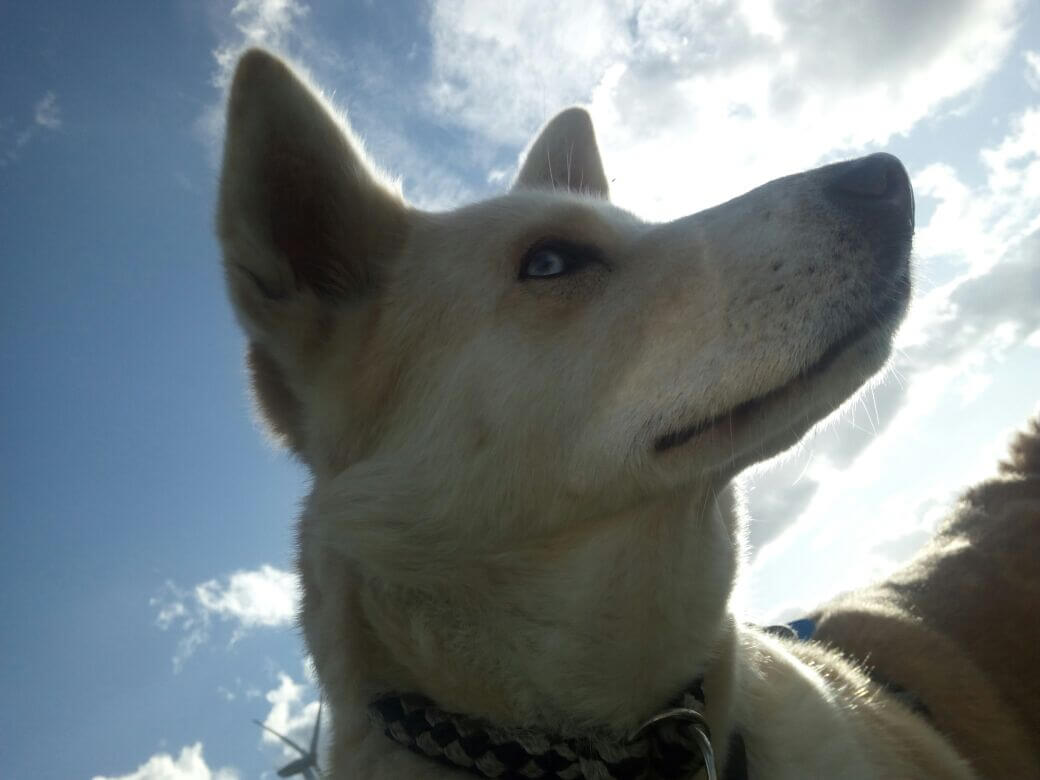 Akita-Husky-Mix Sarah