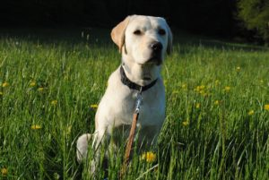 Der Labrador als Familien- und Anfängerhund