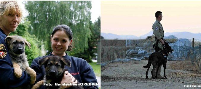 Malinois und Deutscher Schäferhund
