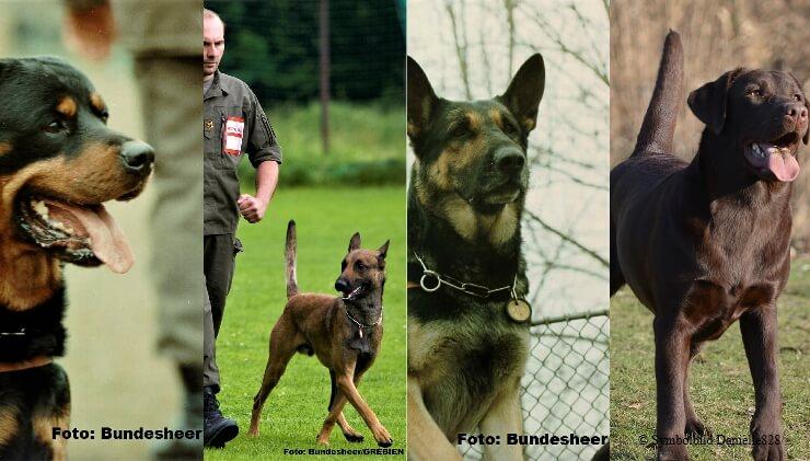 Rottweiler, Malinois, Deutscher Schäferhund und Labrador
